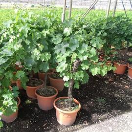 Acheter pied de vigne en pot - Planter un pied de vigne ...