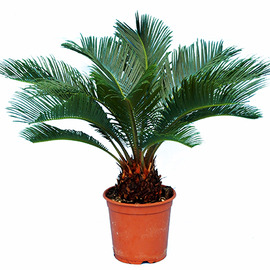 cycas hauteur 55 cm plantes et jardins. Black Bedroom Furniture Sets. Home Design Ideas