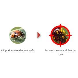 coccilaure 50 larves anti pucerons plantes basses biotop plantes et jardins. Black Bedroom Furniture Sets. Home Design Ideas