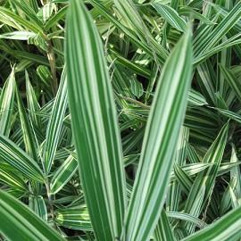 bambou nain pleioblastus fortunei lot de 2 plantes et jardins. Black Bedroom Furniture Sets. Home Design Ideas