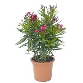 Laurier rose 39 jannoch 39 plantes et jardins - Arrosage laurier rose en pot ...