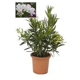 Laurier rose 39 soeur agn s 39 plantes et jardins - Arrosage laurier rose en pot ...