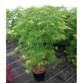 erable du japon 39 viridis 39 plantes et jardins. Black Bedroom Furniture Sets. Home Design Ideas