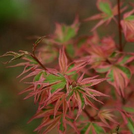 erable du japon 39 roseo marginatum 39 plantes et jardins. Black Bedroom Furniture Sets. Home Design Ideas