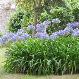 agapanthe bleue plantes et jardins. Black Bedroom Furniture Sets. Home Design Ideas