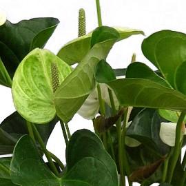 anthurium blanc cache pot blanc plantes et jardins. Black Bedroom Furniture Sets. Home Design Ideas