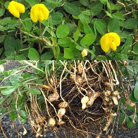 Cacahuète - Plantes et Jardins