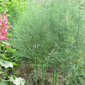 asperge verte 39 rambo 39 plantes et jardins. Black Bedroom Furniture Sets. Home Design Ideas