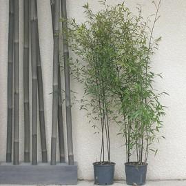 Bambou moyen phyllostachys nigra plantes et jardins for Phyllostachys aurea en pot