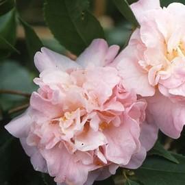 cam lia champ tre 39 high fragrance 39 plantes et jardins. Black Bedroom Furniture Sets. Home Design Ideas