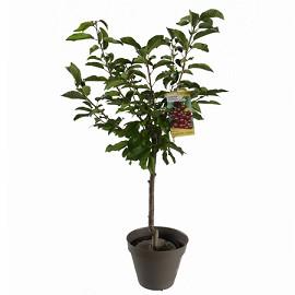 cerisier 39 bigarreau burlat 39 taille en gobelet en pot 12 l plantes et jardins. Black Bedroom Furniture Sets. Home Design Ideas
