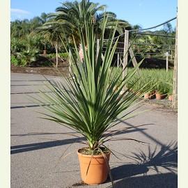 Cordyline indivisa plantes et jardins - Cordyline feuilles qui jaunissent ...