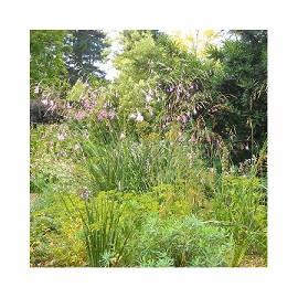 Dierama plantes et jardins for Destockage plantes jardin