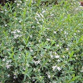 Eriostemon myoporoides plantes et jardins - Arbuste petites fleurs blanches ...
