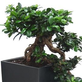 Ficus nain | Appartements et maisons
