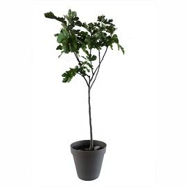 figuier 39 noire de caromb 39 taille en gobelet en pot 12 l plantes et jardins. Black Bedroom Furniture Sets. Home Design Ideas