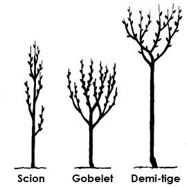 Prunier 39 reine claude dor e 39 taille en gobelet plantes et jardins - Taille des pruniers mirabelles ...