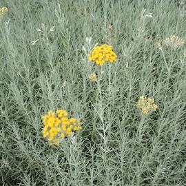 Helichrysum plantes et jardins for Plante curry
