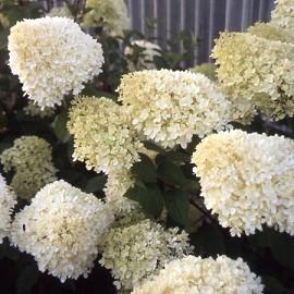 hortensia paniculata 39 limelight 39 plantes et jardins. Black Bedroom Furniture Sets. Home Design Ideas