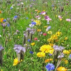 Jach re fleurie fleurs miel plantes et jardins - Fleur de jachere ...