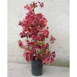 vigne vierge quinquefolia 39 engelmani 39 plantes et jardins. Black Bedroom Furniture Sets. Home Design Ideas