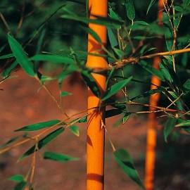 bambou moyen phyllostachys aureosulcata 39 aureocaulis 39 plantes et jardins. Black Bedroom Furniture Sets. Home Design Ideas