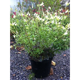 sauge microphylla blanche en pot e plantes et jardins. Black Bedroom Furniture Sets. Home Design Ideas