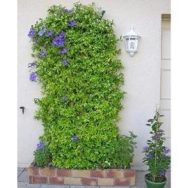 jasmin persistant plantes et jardins. Black Bedroom Furniture Sets. Home Design Ideas
