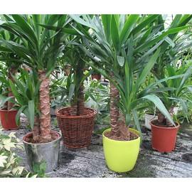 yucca 2 troncs 80 cm plantes et jardins. Black Bedroom Furniture Sets. Home Design Ideas