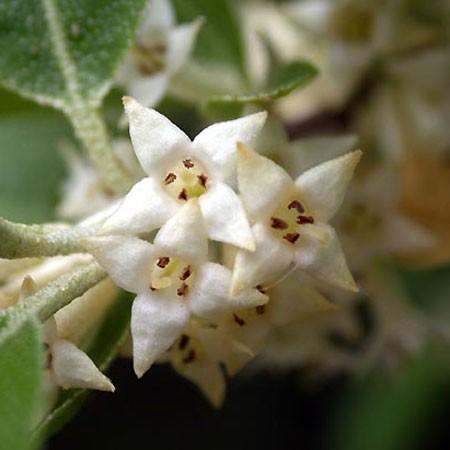 Fleurs d'Elaeagnus ebbingei