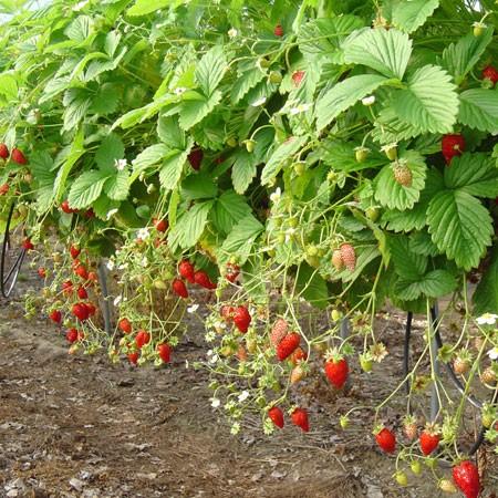 Planter Les Fraisiers | Gamm Vert
