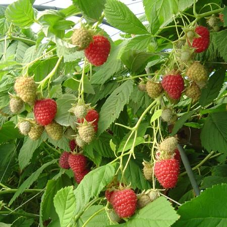 Le framboisier Meeker produit une belle récolte en juillet.