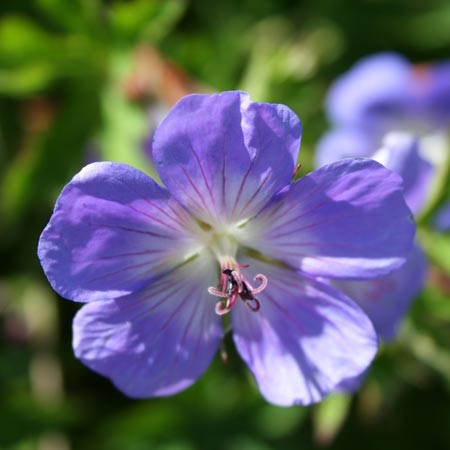 Le célébrissime Géranium vivace 'Rozanne'