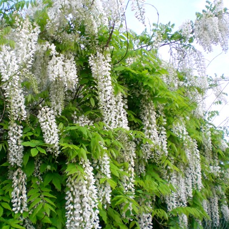 arbre a fleur blanche en grappe fleur blanche en 9 lettres
