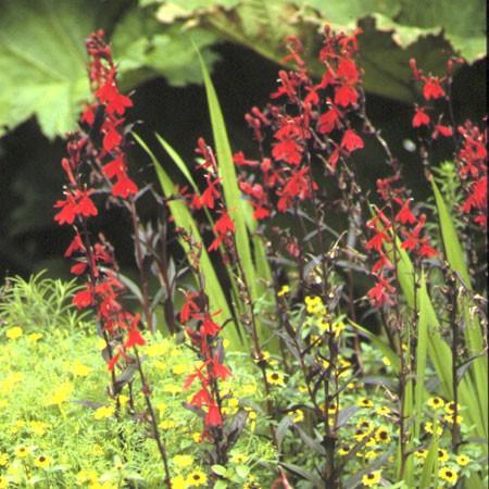 Plantes vivaces fleurs rouges