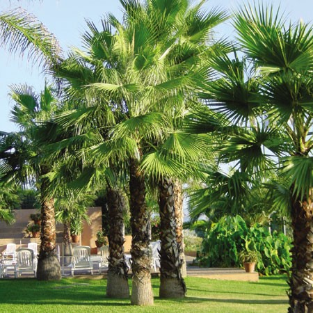 Le Palmier jupon ou Washingtonia robusta