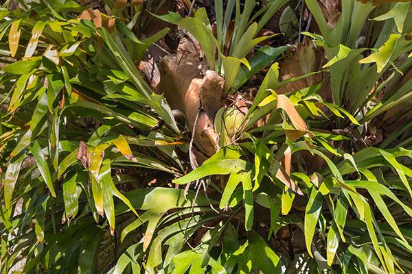 La bromélia est une plante épiphyte