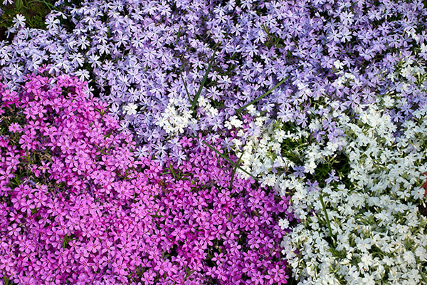 Le phlox est une plante florifère