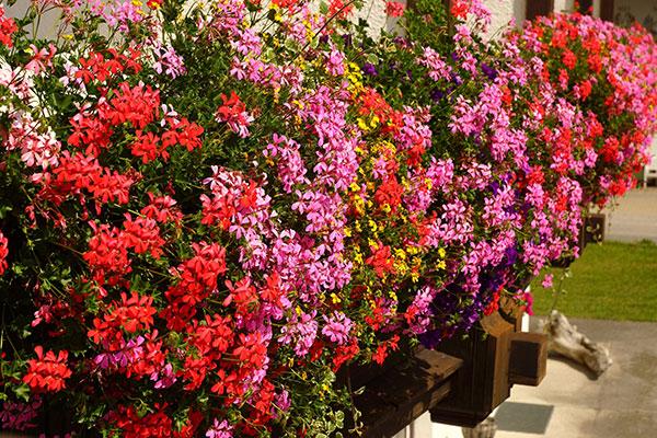 Le géranium est une plante florifère
