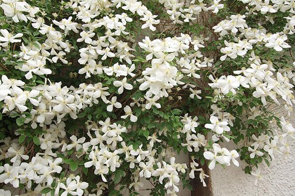La clématite est une plante grimpante florifère