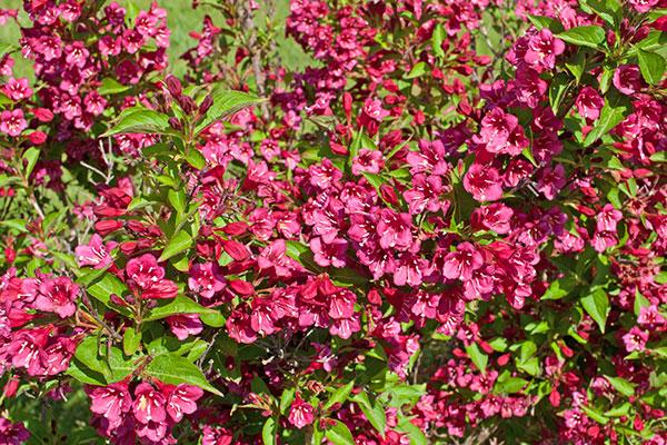 Le weigelia est un arbuste florifère