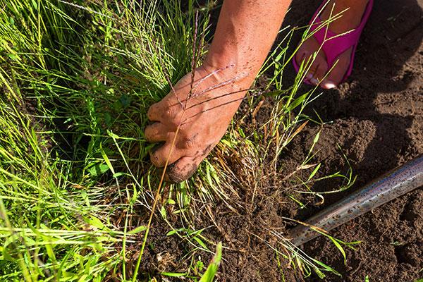 La gouge est utile pour désherber le jardin