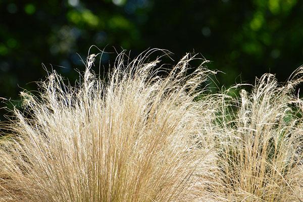 Une graminée est une plante de la famille des céréales
