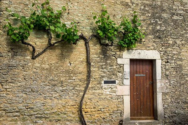 La vigne est une plante grimpante