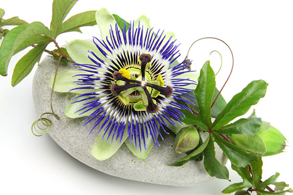 La passiflore est une plante grimpante