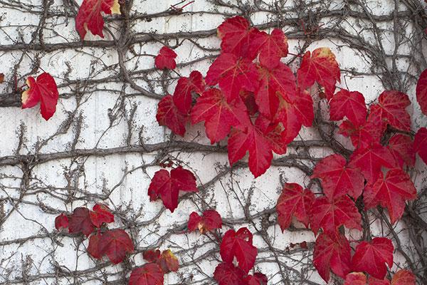 La vigne vierge se colore en automne