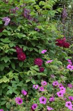 Roses et géraniums
