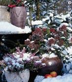 Bruyères et Skimmia donnent des couleurs au jardin d'hiver