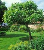 Des arbres pour l ombre le blog de adms for Arbre pousse rapide pour ombre