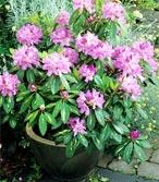 Rhododendron de petite taille pour les pots